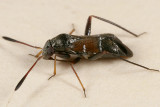Pilophorus strobicola