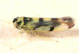 Eupteryx atropunctata