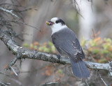 Gray Jay - Perisoreus canadensis