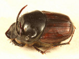 Bull Headed Dung Beetle - Onthophagus taurus (male)