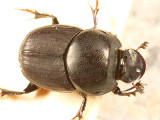 Bull Headed Dung Beetle - Onthophagus taurus (female)