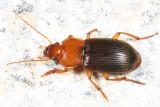 Ground Beetles - Tribe Harpalini