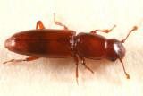 Rhizophagus cylindricus