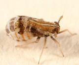Liburniella ornata (gravid female)