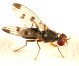 Cereal Fly - Geomyza tripunctata