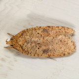 0884 - Thelma's Agonopterix - Agonopterix thelmae