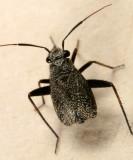 Orthocephalus saltator (female)