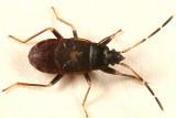 Rhyparochromidae
