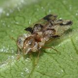 Corythucha pruni