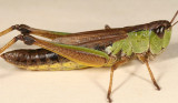 female Marsh Meadow Grasshopper - Chorthippus curtipennis
