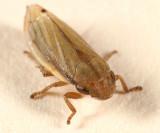 Neophilaenus lineatus