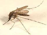 Golden Saltmarsh Mosquito - Ochlerotatus sollicitans