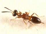 Chalcid Wasps - Eupelmidae