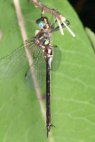Clamp-tipped Emerald - Somatochlora tenebrosa (female)