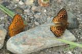 male & female Atlantis Fritillary - Speyeria atlantis