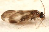 male Polypsocus corruptus
