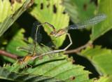 Orange Bluets - Enallagma signatum (mating wheel)