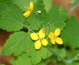 Tetterwort (greater celandine) - Chelidonium majus - Papaveraceae