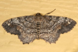 6654 - One-spotted Variant - Hypagyrtis unipunctata