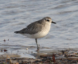 Black-bellied Plover - Pluvialis squatarola (winter plumage)