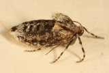7436 - Winter Moth -- Operophtera brumata (female)