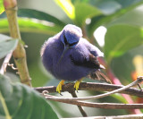 Purple Honeycreeper male - Cyanerpes caeruleus
