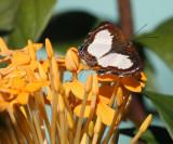 Common Lenmark - Juditha caucana