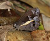 Penelea Satyr - Posttaygetis penelea