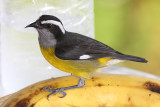 Bananaquit - Coereba flaveola, on a banana