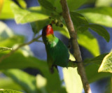 Bay-headed Tanager - Tangara gyrola