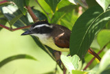 Great Kiskadee - Pitangus sulphuratus