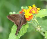 Brown Longtail - Urbanus procne