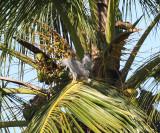 Gray-lined Hawk - Buteo nitidus