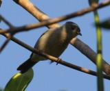 Bicolored Conebill - Conirostrum bicolor