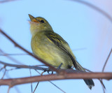 Yellow-breasted Flycatcher - Tolmomyias flaviventris