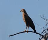 Savanna Hawk - Buteogallus meridionalis