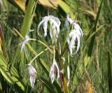 Swamp Lily - Crinum americanum
