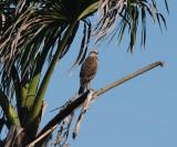 imm. Savanna Hawk - Buteogallus meridionalis
