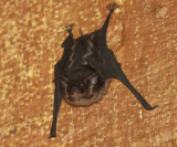 Lesser White-lined Bat - Saccopteryx leptura