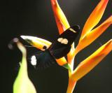 Doris Longwing - Heliconius doris
