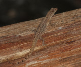 Bridled Forest Gecko -Gonatodes humeralis