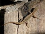 Dwarf Gecko - Gonatodes sp.