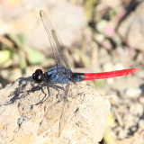 Dragonflies - Odonata - Anisoptera