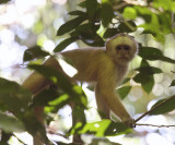 White-fronted Capuchin Monkey - Cebus albifrons