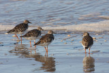 Ruddy Turnstones - Arenaria interpres