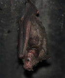 Seba's Short-tailed Fruit Bat - Carollia perspicillata