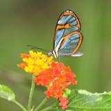 Trinidad & Tobago Butterflies