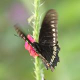 Polydamas Swallowtail - Battus polydamas