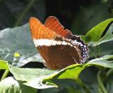 Rusty-tipped Page - Siproeta epaphus