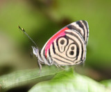 89 Butterfly - Diaethria marchalii